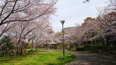 伊丹市内の桜追っかけ(1) 十六名公園の桜。