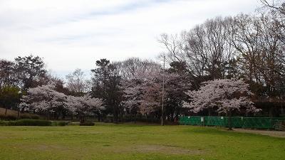 伊丹市内の桜追っかけ(2) 昆陽池公園の染井吉野他。