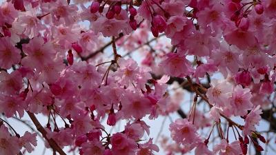伊丹市内の桜追っかけ(3) たんたん小道沿いに咲く桜花。