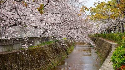 伊丹市内の桜追っかけ(5)完 スポーツセンターと鴻池墓地公園の桜。