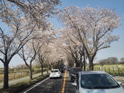 横浜海軍道路でこの3kmの桜吹雪が目に入らねぇかぁ!