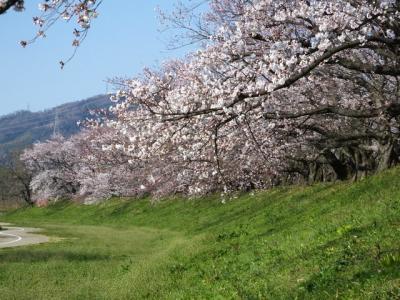 京都の桜巡り その二!2019年