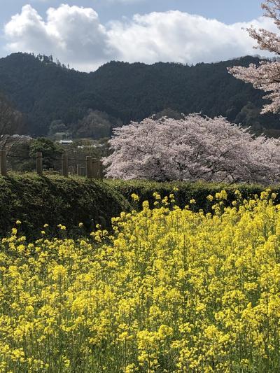 明日香村 満開の桜と悠久の風