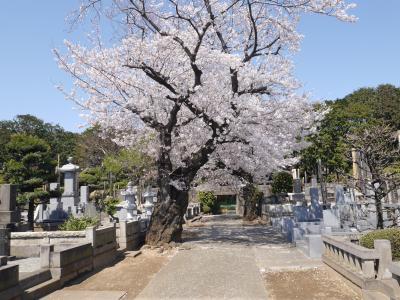 上野寛永寺の桜☆笹乃雪・イリヤプラスカフェ☆2019/04/03