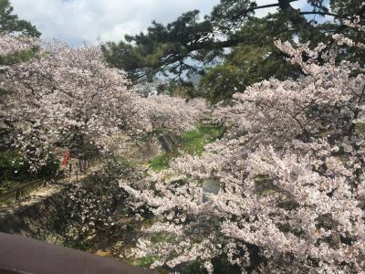 夙川の桜 再び