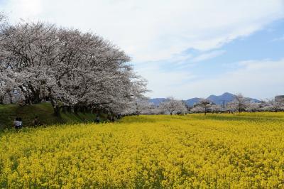藤原宮跡に咲く菜の花と桜