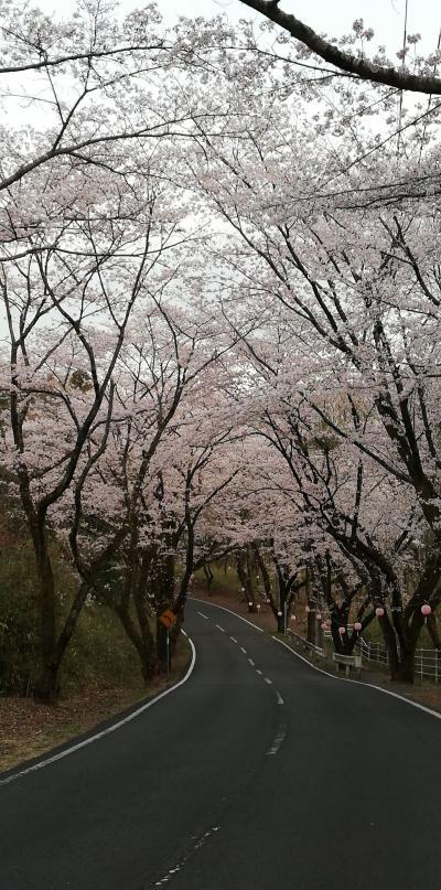 北山公園の周辺は桜のトンネルがいい