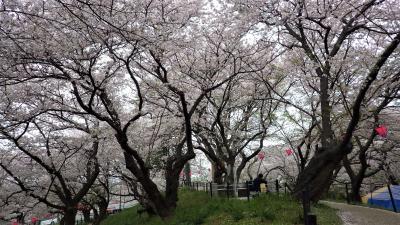 桜満開、晴の週末をあえて避け、曇りの平日に行ってみる権現堂桜堤