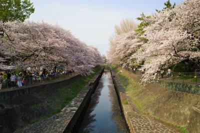 善福寺川の桜並木 お花見散策