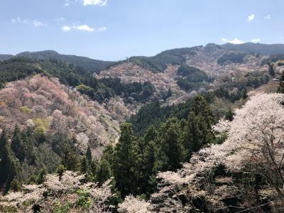 吉野へ桜を見に 満開でした