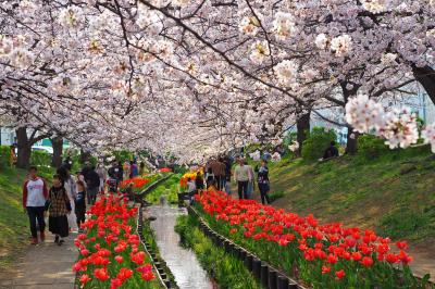 桜とチューリップの饗宴 江川せせらぎ緑道