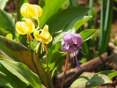 春の花を探して 草戸山から城山カタクリの里へ日帰りハイキング