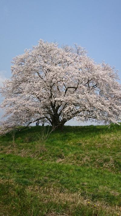 名無しの桜を再訪