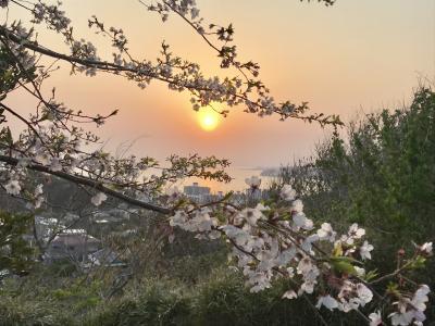 桜満開の鎌倉へ。