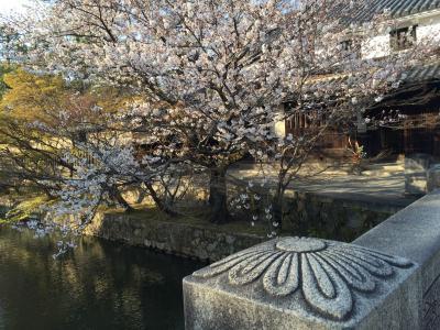 後楽園 倉敷 桜満開