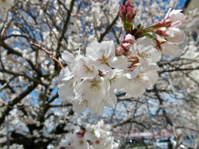 春の笛吹・甲府・塩山へお花見ドライブ。