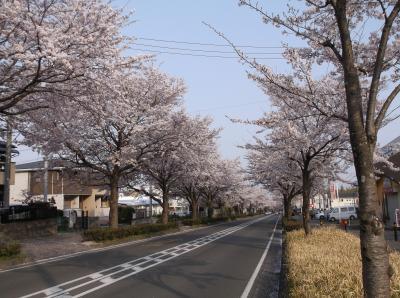 桜並木を見に秦野へ行ってきました・・・