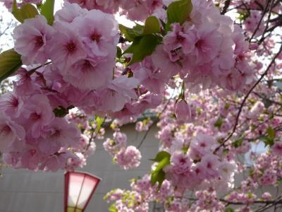 造幣局の「花のまわりみち」