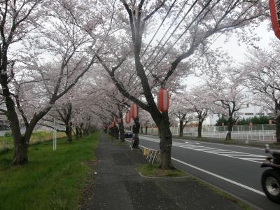 早朝ウォーキング花紀行・・・4・久喜市清久の三列桜並木