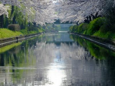 京都の桜巡り その三!2019年