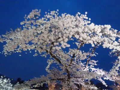 今年の京都の桜は最高