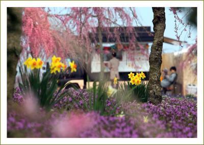 Solitary Journey[1980]ふわり、ゆらり、春の色♪しだれ桜と春の花々の共演<世良高原農場に新エリア登場>広島県世羅町