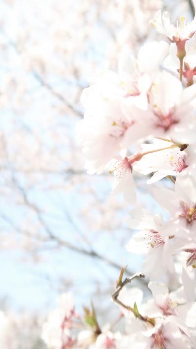 寿長生の郷 ~たねや・叶 匠寿庵~ 2019春、桜