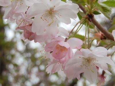 葉桜前の冬桜を見る
