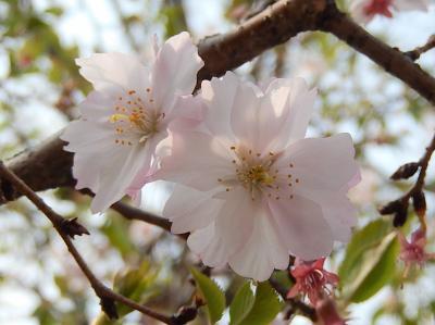 葉桜前の十月桜を見る
