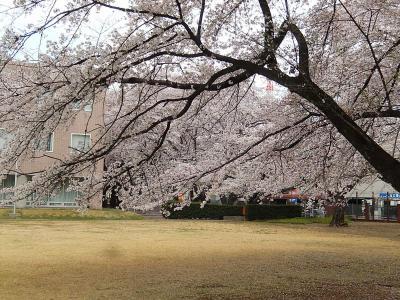 散り始めた文京学院大学の桜