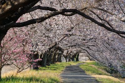 高齢の叔母を連れて・栃木市宮町【宮の桜並木】見物