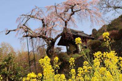 地蔵禅院しだれ桜