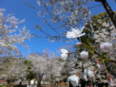 江戸時代からの桜の名所飛鳥山公園