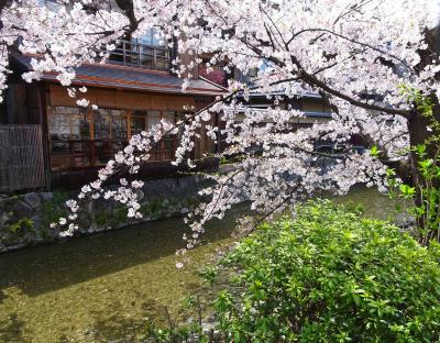 駆け足で巡る京都東山辺りの桜、と伊丹空港JAL新ラウンジ