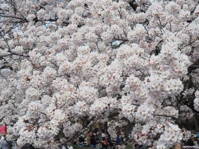 小金井公園のお花見と目黒川の花筏