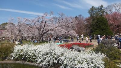 ドンピシャ!満開京都。