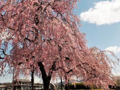 風に揺れる千鳥川桜堤公園の桜並木