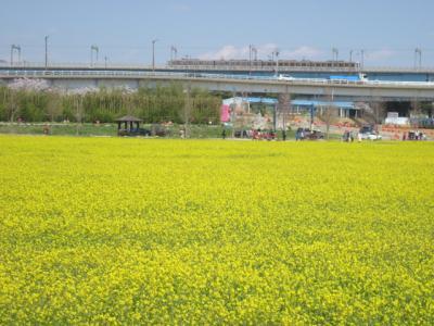 2019春・平成最後の海外旅行(パート7:釜山・桜&菜の花紀行、からの、氏との再会)