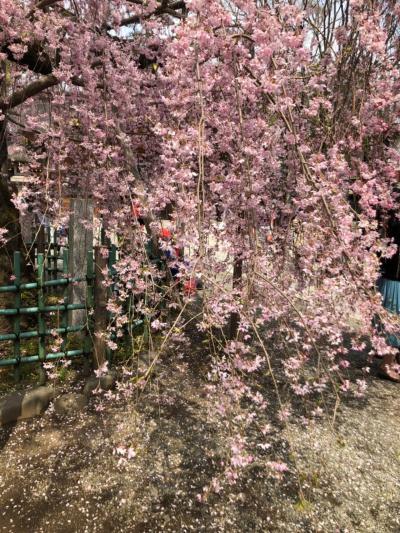 満開のしだれ桜が美しい大国魂神社へお宮参り 東京都府中市