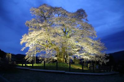 隠岐に配流されたとき後醍醐天皇が愛でた醍醐桜と10度目の逢瀬