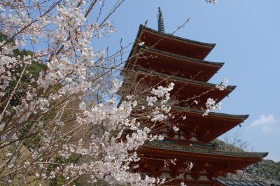 春の長谷寺で桜見物。