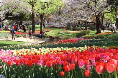 昭和記念公園、チューリップが見頃始めに・・・