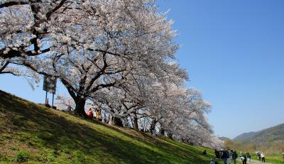 2019年背割堤桜並木開花情報8・満開