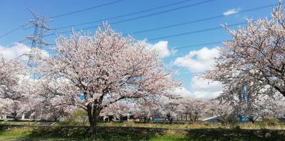 大堀川沿いの桜並木