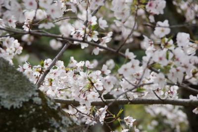 2019年、今年も栗林公園の桜を見に
