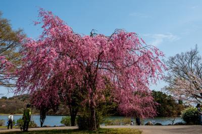 志高湖の桜 2019