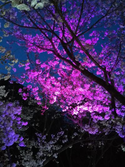 須磨浦公園の夜桜ライトアップ