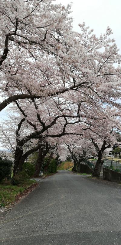 日立市で桜