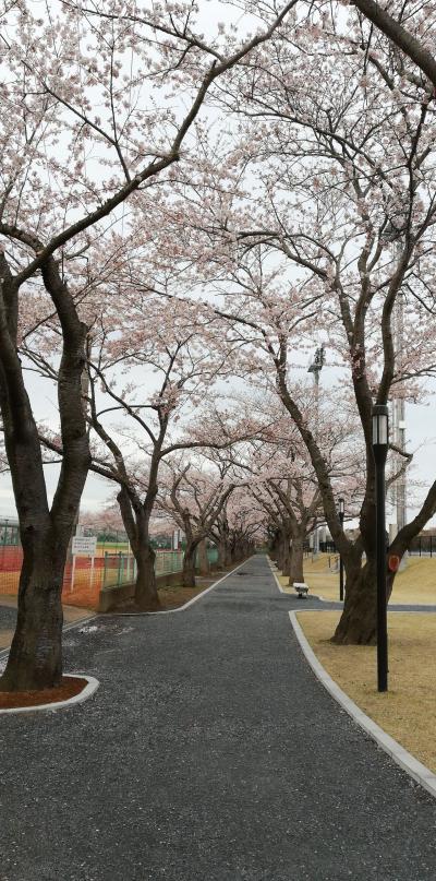 阿漕ヶ浦で桜