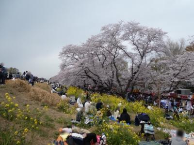 埼玉・熊谷のさくら祭2019~荒川に沿う桜堤と菜の花~
